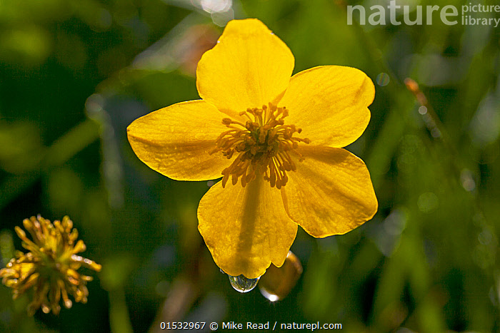 Marsh marigold (Caltha palustris) close up of flower, water meadows in Ringwood, Hampshire, UK May  ,  Plant,Vascular plant,Flowering plant,Dicot,Marsh marigold,Yellow marshmarigold,Plantae,Plant,Tracheophyta,Vascular plant,Magnoliopsida,Flowering plant,Angiosperm,Seed plant,Spermatophyte,Spermatophytina,Angiospermae,Ranunculales,Dicot,Dicotyledon,Ranunculanae,Ranunculaceae,Caltha,Marsh marigold,Caltha palustris,Yellow marshmarigold,Yellow marsh marigold,Kingcup,Trollius paluster,Caltha arctica,Caltha asarifolia,Colour,Yellow,Europe,Western Europe,UK,Great Britain,England,Hampshire,Horizontal,Cultivated Land,Fields,Farmland,Yellow Colour,  ,  Mike Read