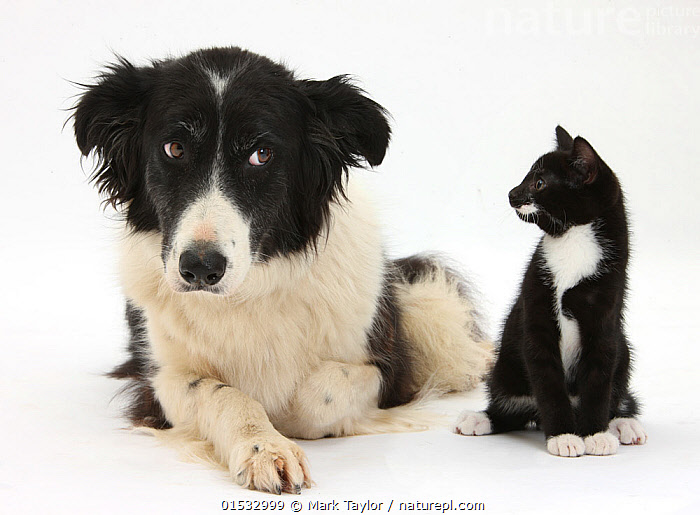 Black and white Border collie looking sideways at black and white kitten. NOT AVAILABLE FOR BOOK USE  ,  Cute,Adorable,Friendship,Two,Cutout,Plain Background,White Background,Portrait,Animal,Young Animal,Juvenile,Babies,Baby Mammal,Kitten,Kittens,Mixed species,  ,  Mark Taylor