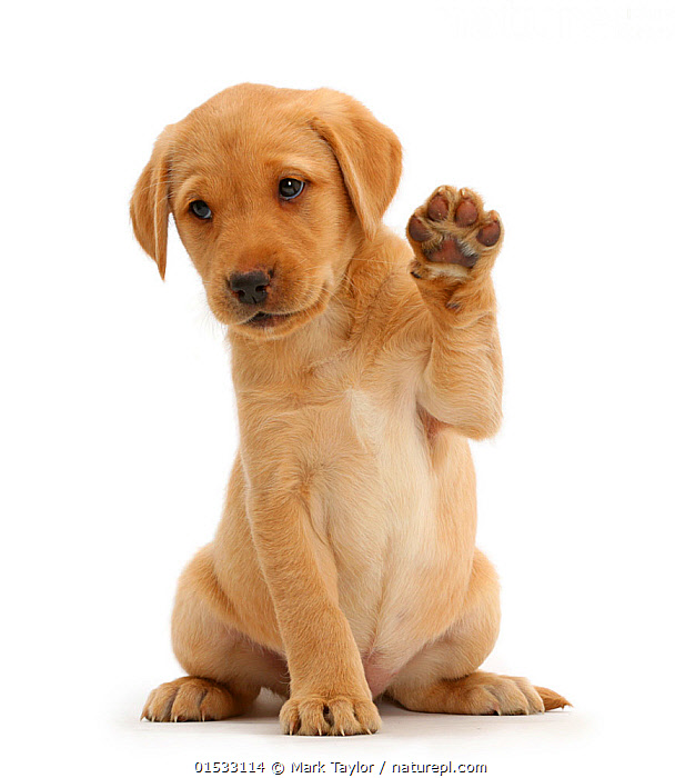 Yellow Labrador Retriever puppy, 8 weeks old, sitting with raised paw, Canis familiaris,Greeting,High Five,High Fives,Sitting,Cute,Adorable,Cutout,Plain Background,White Background,Portrait,Animal,Young Animal,Baby,Baby Mammal,Puppy,Animal Feet,Feet,Foot,Paw,Paws,Domestic animal,Pet,Domestic Dog,Gun dog,Large dog,Labrador Retriever,Domesticated,Canis familiaris,Dog,Arm Raised,Mammal,Paw Raised,Portraits,Juveniles,Young Animals,Baby Animals,Puppies,Dogs,Pets,Babies,Animals,Mammals,Canis familiaris,high16, Mark Taylor