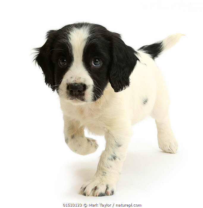 Black-and-white Springer Spaniel puppy, age 6 weeks.  ,  Canis familiaris,Curiosity,Cute,Adorable,Cutout,Plain Background,White Background,B/W,Monochromatic,Portrait,Animal,Young Animal,Baby,Baby Mammal,Puppy,Domestic animal,Pet,Domestic Dog,Gun dog,Medium dog,English Springer Spaniel,Domesticated,Canis familiaris,Dog,Direct Gaze,Spaniel,Mammal,Portraits,Juveniles,Young Animals,Baby Animals,Puppies,Dogs,Medium dogs,Pets,Babies,Animals,Mammals,Canis familiaris,high16  ,  Mark Taylor
