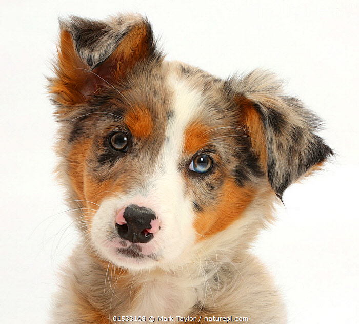 Tricolour merle Collie puppy, Indie, age 10 weeks., Alertness,Curiosity,Cute,Adorable,Cutout,Plain Background,White Background,Close Up,Portrait,Animal,Young Animal,Baby,Baby Mammal,Puppy,Animal Eye,Eyes,Merle,Closeups,Portraits,Juveniles,Young Animals,Baby Animals,Puppies,Close-ups,Babies,Close ups,Animals, catalogue9, Mark Taylor