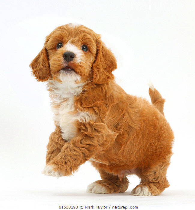 Cockapoo, Cocker spaniel cross Poodle puppy on hind legs., Canis familiaris,Cross breed,Standing,Cute,Adorable,Cutout,Plain Background,White Background,Portrait,Animal,Young Animal,Baby,Baby Mammal,Puppy,Crossbreed,Animal Behaviour,Playing,Domestic animal,Pet,Domestic Dog,Domesticated,Designer breeds,Poodle cross,Cockapoo,Canis familiaris,Dog,Standing on hind legs,Cross breed,Mammal,Portraits,Juveniles,Young Animals,Baby Animals,Puppies,Crossbreeds,Mixed Breeds,Dogs,Pets,Plays,Babies,Animals,Mammals,Canis familiaris,Cross breed,high16, Mark Taylor