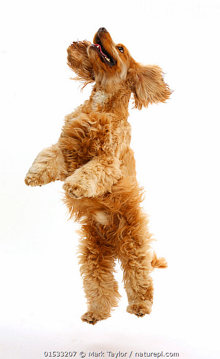 Golden Cocker Spaniel dog, Henry, age 3 years, jumping up.  ,  Canis familiaris,Jumping,Aiming,Aim,Aims,Cute,Adorable,Focus,Happiness,Joy,Mid Air,Cutout,Plain Background,White Background,Portrait,Animal,Domestic animal,Pet,Domestic Dog,Gun dog,Medium dog,Cocker Spaniel,Domesticated,Canis familiaris,Dog,Focused,Spaniel,Mammal,Portraits,Dogs,Medium dogs,Pets,Animals,Mammals,Canis familiaris,high16  ,  Mark Taylor