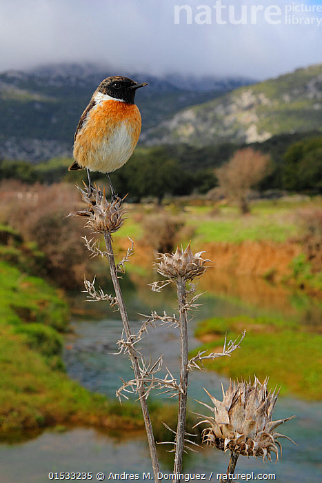 European stonechat (Saxicola rubicola) male perched with mountainous habitat behind, Sierra de Grazalema Natural Park, southern Spain, February.  ,  Animal,Wildlife,Vertebrate,Bird,Birds,Songbird,Old world flycatcher,Chat,Stonechat,Animalia,Animal,Wildlife,Vertebrate,Aves,Bird,Birds,Passeriformes,Songbird,Passerine,Muscicapidae,Old world flycatcher,Flycatcher,Saxicola,Chat,Chat thrush,Saxicolinae,Saxicola rubicola,Stonechat,Common stonechat,Collared bush chat,Saxicola torquata,Europe,Southern Europe,Spain,Andalusia,Cadiz,Male Animal,Mountain,Flowing Water,River,Landscape,Winter,Freshwater,Water,Habitat,Reserve,Protected area,Natural Park,UNESCO Biosphere Reserve,Sierra de Grazalema Natural Park,Animals,Vertebrates,Chordates,Songbirds,Passerines,Old world flycatchers,Flycatchers,Chats,Chat thrushes,Males,Male Animals,Mountainous,Mountains,Rivers,Landscapes,Reserves,Animal,Wildlife,Vertebrate,Bird,Birds,Songbird,Old world flycatcher,Chat,Stonechat,high16  ,  Andres M. Dominguez