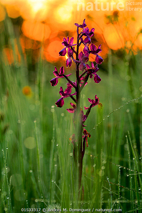 Orchid (Orchis langei) in sunset light, Sierra de Grazalema Natural Park, southern Spain, May.  ,  Plant,Vascular plant,Flowering plant,Monocot,Orchid,Plantae,Plant,Tracheophyta,Vascular plant,Magnoliopsida,Flowering plant,Angiosperm,Seed plant,Spermatophyte,Spermatophytina,Angiospermae,Asparagales,Monocot,Monocotyledon,Lilianae,Orchidaceae,Orchid,Orchis,Europe,Southern Europe,Spain,Andalusia,Camera Focus,Selective Focus,Flower,Mountain,Sunset,Setting Sun,Sunsets,Grassland,Meadow,Reserve,Protected area,Shallow depth of field,Low depth of field,Natural Park,Sierra,UNESCO Biosphere Reserve,Orchis langei,Sierra de Grazalema Natural Park,Plants,Angiosperms,Spermatophytes,Monocots,Monocotyledons,Orchids,Flowers,Mountainous,Mountains,Grasslands,Meadows,Reserves,Plant,Vascular plant,Flowering plant,Monocot,Orchid, catalogue9  ,  Andres M. Dominguez
