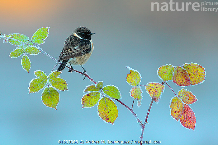 Common stonechat (Saxicola torquata) perched on bramble, Sierra de Grazalema Natural Park, southern Spain, November.  ,  Plant,Vascular plant,Flowering plant,Rosid,Bramble,Animal,Wildlife,Vertebrate,Bird,Birds,Songbird,Old world flycatcher,Chat,Stonechat,Plantae,Plant,Tracheophyta,Vascular plant,Magnoliopsida,Flowering plant,Angiosperm,Seed plant,Spermatophyte,Spermatophytina,Angiospermae,Rosales,Rosid,Dicot,Dicotyledon,Rosanae,Rosaceae,Rubus,Bramble,Animalia,Animal,Wildlife,Vertebrate,Aves,Bird,Birds,Passeriformes,Songbird,Passerine,Muscicapidae,Old world flycatcher,Flycatcher,Saxicola,Chat,Chat thrush,Saxicolinae,Saxicola rubicola,Stonechat,Common stonechat,Collared bush chat,Saxicola torquata,Europe,Southern Europe,Spain,Andalusia,Copy Space,Male Animal,Leaf,Foliage,Weather,Frost,Autumn,Cold Weather,Reserve,Protected area,Negative space,Natural Park,UNESCO Biosphere Reserve,Sierra de Grazalema Natural Park,Plants,Angiosperms,Spermatophytes,Rosids,Dicots,Dicotyledons,Brambles,Animals,Vertebrates,Chordates,Songbirds,Passerines,Old world flycatchers,Flycatchers,Chats,Chat thrushes,Copy Spaces,Males,Male Animals,Leaves,Reserves,Plant,Vascular plant,Flowering plant,Rosid,Bramble,Animal,Wildlife,Vertebrate,Bird,Birds,Songbird,Old world flycatcher,Chat,Stonechat, catalogue9  ,  Andres M. Dominguez