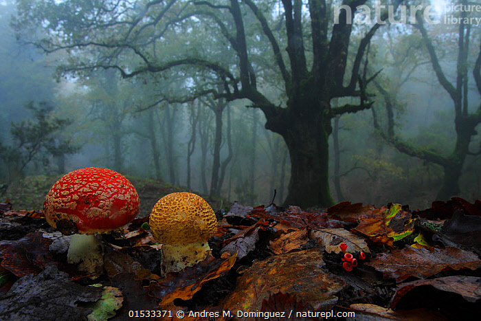 Fly agaric (Amanita muscaria) in foggy forest, Los Alcornocales Natural Park,  southern Spain, January., Higher Fungi,Gilled mushroom,Fly agaric,Fungus,Fungi,Basidiomycota,Higher Fungi,Agaricomycetes,Agaricales,Gilled mushroom,Agaricaceae,Amanita,Amanita muscaria,Fly agaric,Fly amanita Venenarius muscarius,Mood,Gloomy,Mystery,Dark,Europe,Southern Europe,Spain,Mist,Reserve,Forest,Protected area,Natural Park,Gilled mushrooms,Moods,Forests,Reserves,Higher Fungi,Gilled mushroom,Fly agaric, catalogue9, Andres M. Dominguez