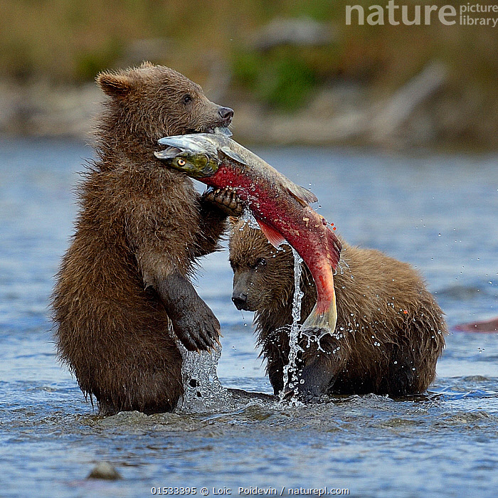 Grizzly bear (Ursus arctos horribilis) cubs with salmon,  