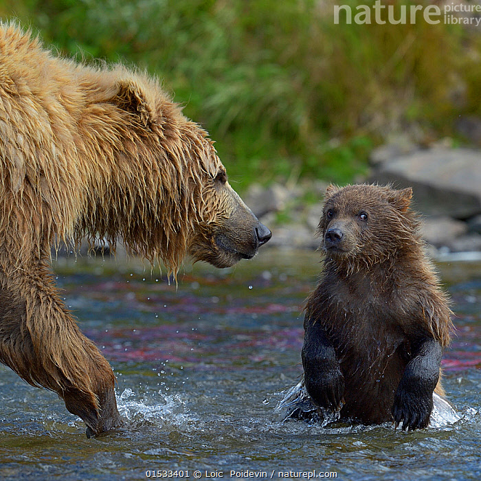 Grizzly bear (Ursus arctos horribilis) mother and cub in river, Katmai National Park, Alaska, USA, August  ,  Animal,Wildlife,Vertebrate,Mammal,Carnivore,Bear,Brown Bear,Grizzly bear,American,Animalia,Animal,Wildlife,Vertebrate,Mammalia,Mammal,Carnivora,Carnivore,Ursidae,Bear,Ursus,Ursus arctos,Brown Bear,Teaching,Teach,North America,USA,Western USA,Alaska,Young Animal,Baby,Baby Mammal,Cub,Flowing Water,River,Freshwater,Water,Family,Mother baby,Mother,Grizzly bear,Katmai National Park,Parent baby,American,United States of America,Animals,Vertebrates,Chordates,Mammals,Carnivores,Bears,Juveniles,Young Animals,Baby Animals,Cubs,Rivers,Families,Babies,Animal,Wildlife,Vertebrate,Mammal,Carnivore,Bear,Brown Bear,Grizzly bear,American,high16  ,  Loic  Poidevin
