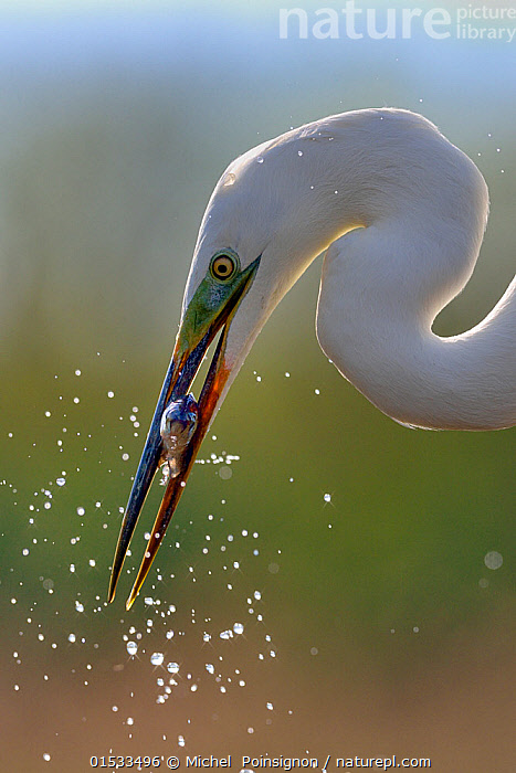 Great white egret (Egretta alba) catching fish in lake, Pusztaszer, Hungary, April  ,  Animal,Wildlife,Vertebrate,Bird,Birds,Typical heron,Great egret,Animalia,Animal,Wildlife,Vertebrate,Aves,Bird,Birds,Pelecaniformes,Ardeidae,Ardea,Typical heron,Heron,Ardeinae,Ardea alba,Great egret,Great white egret,Large egret,Great white heron,Casmerodius albus,Egretta alba,Splashing,Europe,Eastern Europe,East Europe,Hungary,Profile,Close Up,Side View,Portrait,Animal Behaviour,Feeding,Predation,Hunting,Jalohaikara,Fish,Animals,Vertebrates,Chordates,Typical herons,Herons,Closeups,Portraits,Close-ups,Close ups,Animal,Wildlife,Vertebrate,Bird,Birds,Typical heron,Great egret,high16  ,  Michel  Poinsignon