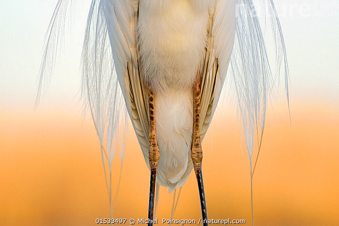 Great white egret (Egretta alba) detail of plumage and legs from the front, Pusztaszer, Hungary, April  ,  Animal,Wildlife,Vertebrate,Bird,Birds,Typical heron,Great egret,Animalia,Animal,Wildlife,Vertebrate,Aves,Bird,Birds,Pelecaniformes,Ardeidae,Ardea,Typical heron,Heron,Ardeinae,Ardea alba,Great egret,Great white egret,Large egret,Great white heron,Casmerodius albus,Egretta alba,Grace,Elegance,Europe,Eastern Europe,East Europe,Hungary,Animal Legs,Legs,Leg,Feather,Beautiful,Arty shots,MS,Plumage,Jalohaikara,Mid Section,Animals,Vertebrates,Chordates,Typical herons,Herons,Feathers,Animal,Wildlife,Vertebrate,Bird,Birds,Typical heron,Great egret, catalogue9  ,  Michel  Poinsignon