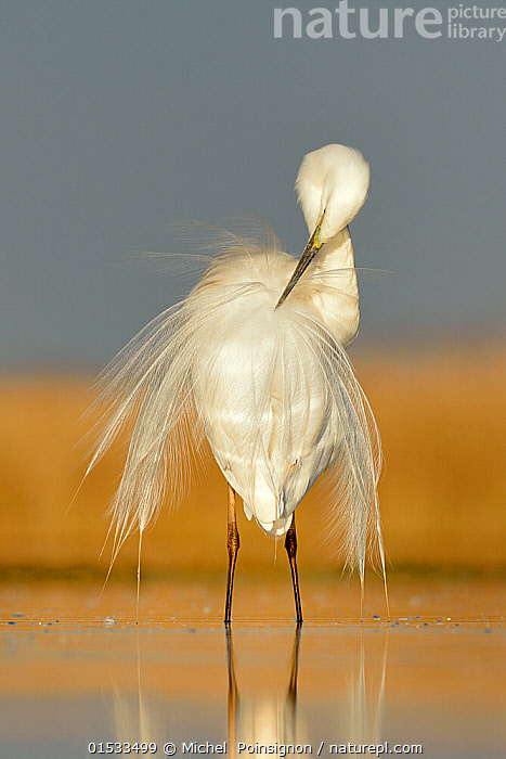 Great white egret (Egretta alba) preening feathers, Pusztaszer, Hungary, April, Animal,Wildlife,Vertebrate,Bird,Birds,Typical heron,Great egret,Animalia,Animal,Wildlife,Vertebrate,Aves,Bird,Birds,Pelecaniformes,Ardeidae,Ardea,Typical heron,Heron,Ardeinae,Ardea alba,Great egret,Great white egret,Large egret,Great white heron,Casmerodius albus,Egretta alba,Grooming,Preen,Preens,Grace,Elegance,Europe,Eastern Europe,East Europe,Hungary,Copy Space,Feather,Freshwater,Wetland,Lake,Water,Animal Behaviour,Negative space,Jalohaikara,Animals,Vertebrates,Chordates,Typical herons,Herons,Copy Spaces,Feathers,Lakes,Wetlands,Animal,Wildlife,Vertebrate,Bird,Birds,Typical heron,Great egret,high16, Michel  Poinsignon