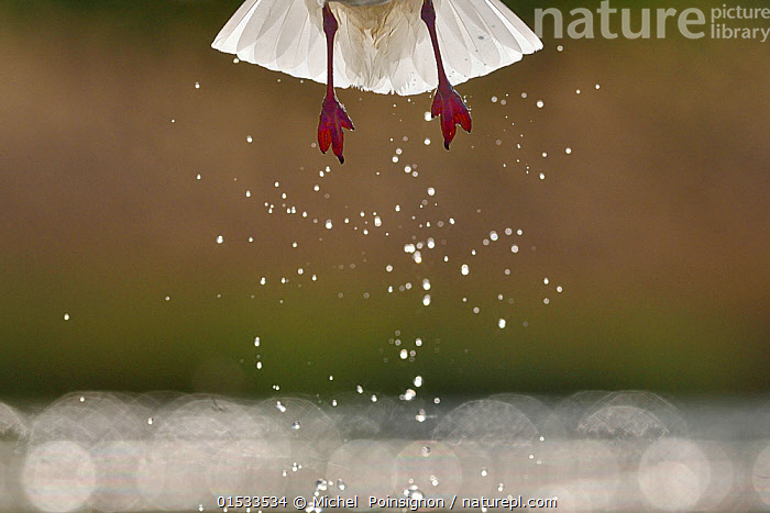 Black headed gull (Chroicocephalus ridibundus) taking off, detail of legs and water droplets, Pusztaszer, Hungary, April, Animal,Wildlife,Vertebrate,Bird,Birds,Gull,Black headed gull,Animalia,Animal,Wildlife,Vertebrate,Aves,Bird,Birds,Charadriiformes,Laridae,Gull,Seabird,Chroicocephalus,Chroicocephalus ridibundus,Black headed gull,Common black headed gull,Larus ridibundus,Flying,Taking Off,Europe,Eastern Europe,East Europe,Hungary,Copy Space,Close Up,Animal Feet,Feet,Foot,Animal Legs,Legs,Leg,Tail,Freshwater,Lake,Water,Seagulls,Negative space,Animals,Vertebrates,Chordates,Gulls,Seabirds,Copy Spaces,Closeups,Details,Tails,Lakes,Close-ups,Seagull,Close ups,Animal,Wildlife,Vertebrate,Bird,Birds,Gull,Black headed gull, catalogue9, Michel  Poinsignon