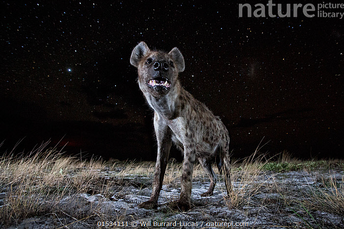 Spotted hyena (Crocuta crocuta) at night, taken with remote camera. Liuwa Plain National Park, Zambia. December  ,  Animal,Wildlife,Vertebrate,Mammal,Carnivore,Hyaena,Spotted hyaenas,Spotted hyaena,Animalia,Animal,Wildlife,Vertebrate,Mammalia,Mammal,Carnivora,Carnivore,Hyaenidae,Hyaena,Hyena,Crocuta,Spotted hyaenas,Crocuta crocuta,Spotted hyaena,Crocuta capensis,Crocuta cuvieri,Crocuta fisi,Standing,Scare,Scary,Africa,East Africa,Zambia,Low Angle View,Portrait,Stars,Night,Savanna,Reserve,Protected area,National Park,Zambian,Head Raised,Animal portrait,Liuwa Plain National Park,Animals,Vertebrates,Chordates,Mammals,Carnivores,Hyaenas,Hyenas,Portraits,Reserves,National parks,Nights,Animal,Wildlife,Vertebrate,Mammal,Carnivore,Hyaena,Spotted hyaenas,Spotted hyaena, catalogue9  ,  Will Burrard-Lucas
