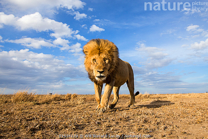Lion (Panthera leo) walking over the plain, taken with remote camera. Serengeti National Park, Tanzania. December  ,  Animal,Wildlife,Vertebrate,Mammal,Carnivore,Cat,Big cat,Lion,Animalia,Animal,Wildlife,Vertebrate,Mammalia,Mammal,Carnivora,Carnivore,Felidae,Cat,Panthera,Big cat,Panthera leo,Prowling,Alone,Solitude,Solitary,Africa,East Africa,Tanzania,Portrait,Male Animal,Sky,Landscape,Savanna,Reserve,Lion,Protected area,National Park,Direct Gaze,Serengeti,Animals,Vertebrates,Chordates,Mammals,Carnivores,Cats,Big cats,Portraits,Males,Male Animals,Skies,Landscapes,Lions,Reserves,National parks,Animal,Wildlife,Vertebrate,Mammal,Carnivore,Cat,Big cat,Lion,high16  ,  Will Burrard-Lucas