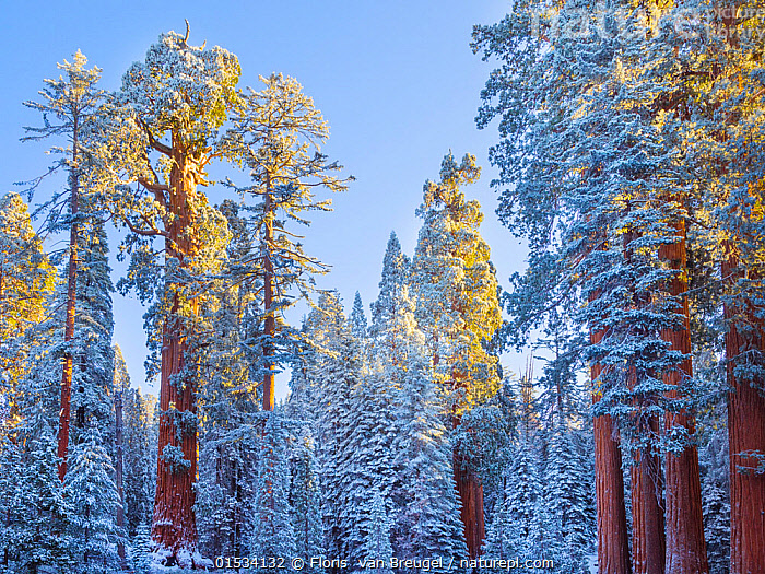 First rays of golden sunshine hit Giant Sequoias (Sequoiadendron giganteum) covered in a winter blanket of snow and frost, Grant Grove, Sequoia / Kings Canyon National Park, California, USA November, Plant,Vascular plant,Conifer,Cypress,Giant sequoia,Giant sequoia tree,American,Plantae,Plant,Tracheophyta,Vascular plant,Pinopsida,Conifer,Gymnosperm,Spermatophyte,Pinophyta,Coniferophyta,Coniferae,Spermatophytina,Gymnospermae,Cupressales,Cupressaceae,Cypress,Sequoiadendron,Giant sequoia,Redwood,Sequoiadendron giganteum,Giant sequoia tree,Giant redwood,Sierra redwood,Wellingtonia,Wellingtonia gigantea,Sequoia gigantea,Sequoia wellingtonia,North America,USA,Western USA,Southwest USA,California,Horizontal,Sunlight,Snow,Weather,Frost,Landscape,Winter,Cold Weather,Habitat,Reserve,Forest,Protected area,National Park,Dawn,Natural Light,American,Coniferous,United States of America,Plants,Conifers,Gymnosperms,Spermatophytes,Cypresses,Giant sequoias,Redwoods,Landscapes,Forests,Reserves,National parks,Plant,Vascular plant,Conifer,Cypress,Giant sequoia,Giant sequoia tree,American,high16, Floris  van Breugel