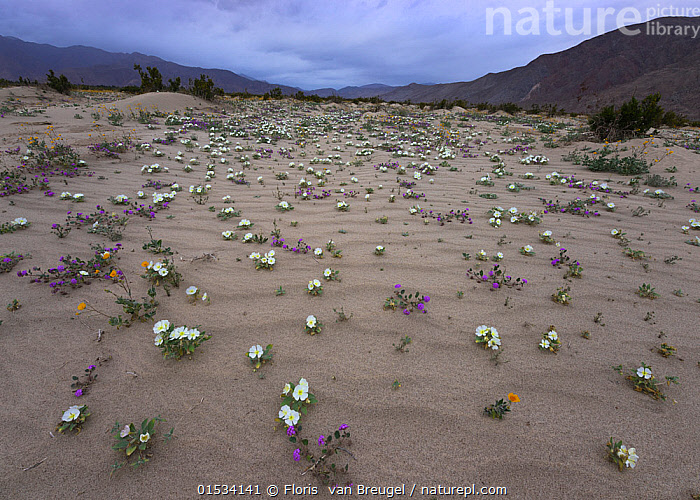 Dune primrose, Sand verbena, and Desert gold emerge from the sand after brief spring rains in Anza-Borrego Desert State Park, California, USA March  ,  American,North America,USA,Western USA,Southwest US,California,Horizontal,Plant,Wildflower,Wildflowers,Flower,Flowers,Desert,Deserts,Landscape,Landscapes,Habitat,Mixed species,American,United States of America  ,  Floris  van Breugel
