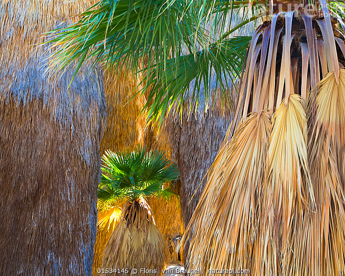 Young California fan palm (Washingtonia filifera) in sunshine among older palms in a remote oasis in Anza-Borrego Desert State Park, California, USA March, Plant,Vascular plant,Flowering plant,Monocot,Palm,Fan palm,Desert fan palm,American,Plantae,Plant,Tracheophyta,Vascular plant,Magnoliopsida,Flowering plant,Angiosperm,Seed plant,Spermatophyte,Spermatophytina,Angiospermae,Arecales,Monocot,Monocotyledon,Lilianae,Arecaceae,Palm,Palm tree,Palmae,Palmaceae,Washingtonia,Fan palm,Washingtonia filifera,Desert fan palm,Cotton palm,Calfornia fan palm,Arizona fan palm,Brahea filamentosa,Brahea filifera,Neowashingtonia filamentosa,North America,USA,Western USA,Southwest USA,California,Horizontal,Leaf,Foliage,Frond,Fronds,Sunlight,Oasis,Oases,Landscape,Freshwater,Water,Reserve,Protected area,Natural Light,American,United States of America,Plants,Angiosperms,Spermatophytes,Monocots,Monocotyledons,Palm trees,Fan palms,Leaves,Landscapes,Reserves,Plant,Vascular plant,Flowering plant,Monocot,Palm,Fan palm,Desert fan palm,American, catalogue9, Floris  van Breugel