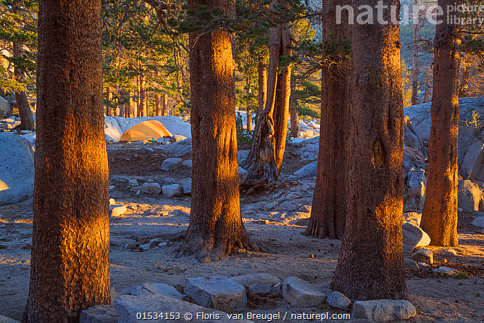 Camping in Big Pine Lakes, Sierra Nevada, Sequoia National Park, California, USA, May  ,  Plant,Vascular plant,Conifer,Pine tree,American,Plantae,Plant,Tracheophyta,Vascular plant,Pinopsida,Conifer,Gymnosperm,Spermatophyte,Pinophyta,Coniferophyta,Coniferae,Spermatophytina,Gymnospermae,Pinales,Pinaceae,Pinus,Pine tree,Pine,North America,USA,Horizontal,Tent,Landscape,Landscapes,American,Coniferous,United States of America,Tree,Trees  ,  Floris  van Breugel