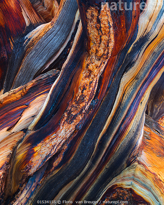 Bristlecone pine (Pinus aristata) abstract view of exposed and weathered wood layers, White Mountains, California, USA July  ,  Plant,Vascular plant,Conifer,Pine tree,Rocky mountain bristlecone pine tree,American,Plantae,Plant,Tracheophyta,Vascular plant,Pinopsida,Conifer,Gymnosperm,Spermatophyte,Pinophyta,Coniferophyta,Coniferae,Spermatophytina,Gymnospermae,Pinales,Pinaceae,Pinus,Pine tree,Pine,Pinus aristata,Rocky mountain bristlecone pine tree,Bristlecon pine tree,Foxtail pine,Hickory pine,Pinus balfouriana var. aristata,Pinus balfouriana aristata,North America,USA,Western USA,Southwest US,California,Vertical,Bark,Arty shots,Abstract,Abstracts,American,Coniferous,United States of America,Tree,Trees  ,  Floris  van Breugel