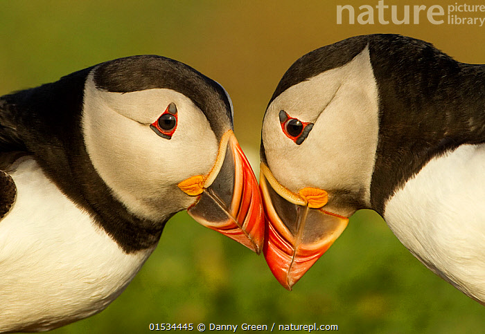 Atlantic Puffins (Fratercula arctica) pair bill rubbing, part of ritual courtship, Skomer Island, Wales, UK, May  ,  Animal,Wildlife,Vertebrate,Bird,Birds,Auk,Puffin,Atlantic puffin,Animalia,Animal,Wildlife,Vertebrate,Aves,Bird,Birds,Charadriiformes,Alcidae,Auk,Seabird,Fratercula,Puffin,Fratercula arctica,Atlantic puffin,Common puffin,Rubbing,Rub,Courting,Love,Bonding,Two,Affectionate,Affection,Europe,Western Europe,UK,Great Britain,Wales,Cutout,Head To Head,Profile,Horizontal,Side View,Beak,Animal Behaviour,Mating Behaviour,Courtship,Male female pair,Pembrokeshire,Skomer Island,Animals,Vertebrates,Chordates,Auks,Seabirds,Puffins,Beaks,Pairs,Animal,Wildlife,Vertebrate,Bird,Birds,Auk,Puffin,Atlantic puffin,high16  ,  Danny Green