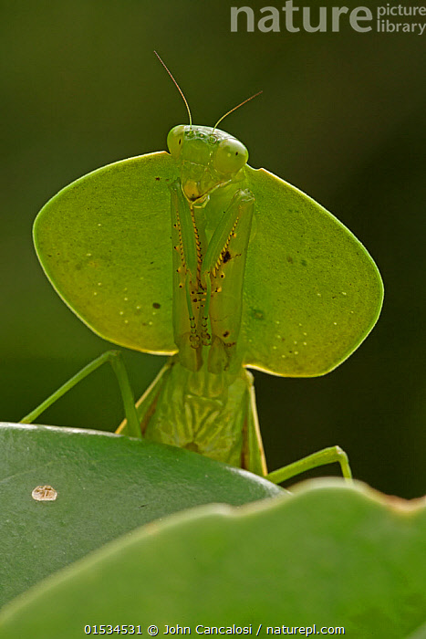 Nature Picture Library - Hooded mantis (Choeradodis sp) head