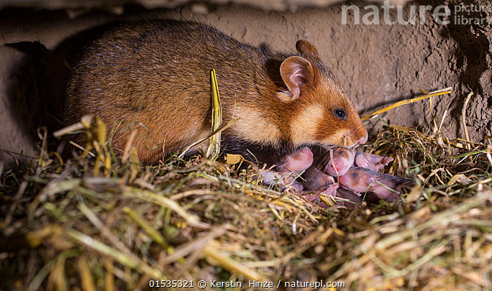 European hamster (Cricetus cricetus) female with five day old pups in burrow, captive.  ,  Animal,Wildlife,Vertebrate,Mammal,Rodent,Hamster,Black-bellied Hamster,Animalia,Animal,Wildlife,Vertebrate,Mammalia,Mammal,Rodentia,Rodent,Cricetidae,Cricetus,Hamster,Cricetus cricetus,Black-bellied Hamster,Common Hamster,Cricetus albus,Cricetus babylonicus,Cricetus canescens,Europe,Young Animal,Baby,Burrow,Burrows,Animal Behaviour,Parental behaviour,Family,Mother baby,Mother,Parental,Helpless young,Parent baby,Animals,Vertebrates,Chordates,Mammals,Rodents,Hamsters,Juveniles,Young Animals,Baby Animals,Families,Babies,Animal,Wildlife,Vertebrate,Mammal,Rodent,Hamster,Black-bellied Hamster,high16  ,  Kerstin  Hinze