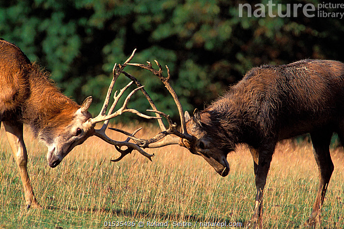 Pere David's deer (Elaphurus davidianus)  stags rutting. Captive in Woburn Abbey, Bedfordshire, UK. Occurs in China.  ,  Animal,Vertebrate,Mammal,Deer,Pere david's deer,Animalia,Animal,Wildlife,Vertebrate,Mammalia,Mammal,Artiodactyla,Even-toed ungulates,Cervidae,Deer,True deer,ruminantia,Ruminant,Elaphurus,Elaphurus davidianus,Pere david's deer,Elaphure,Milu,Courting,Male Animal,Antler,Antlers,Animal Behaviour,Mating Behaviour,Courtship,Behaviour,Rutting,Extinct in the wild  ,  Roland  Seitre