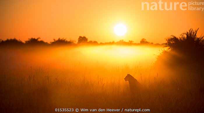 Lioness (Panthera leo) sitting during misty sunrise, Okavango Delta, Botswana., Animal,Wildlife,Vertebrate,Mammal,Carnivore,Cat,Big cat,Lion,Animalia,Animal,Wildlife,Vertebrate,Mammalia,Mammal,Carnivora,Carnivore,Felidae,Cat,Panthera,Big cat,Panthera leo,Mood,Calm,Alone,Solitude,Solitary,Africa,Southern Africa,Botswana,Female animal,Lioness,Lionesses,Sunrise,Beautiful,Nature,Beauty In Nature,Habitat,Lion,Protected area,UNESCO World Heritage Site,Dawn,Wilderness,Okavango Delta,Animals,Vertebrates,Chordates,Mammals,Carnivores,Cats,Big cats,Moods,Sunrises,Lions,Female Animals,Animal,Wildlife,Vertebrate,Mammal,Carnivore,Cat,Big cat,Lion,high16, Wim van den Heever