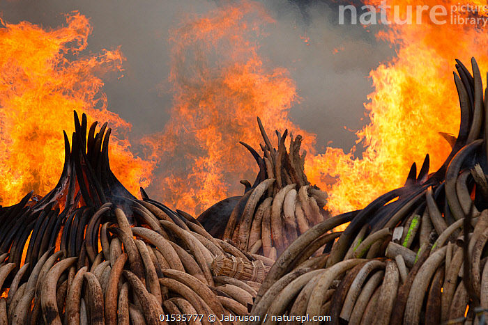 Piles of African elephant ivory set on fire by the Kenya Wildlife Service (KWS). This burn included over 105 tons of elephant ivory, worth over $150 million. Nairobi National Park, Kenya, 30th April 2016., Animal,Wildlife,Vertebrate,Mammal,Elephant,African elephants,African elephant,Animalia,Animal,Wildlife,Vertebrate,Mammalia,Mammal,Proboscidea,Elephantidae,Elephant,Loxodonta,African elephants,Loxodonta africana,African elephant,Burning,Illegal,Africa,East Africa,Kenya,Nairobi,Tusk,Tusks,Ivory ,Fire,Flame,Smoke,Conservation,Poaching,Wildlife trade,Ivory,Conservation issues,Bruce Davidson,Wildlife crime,Animal trade,Conservation organisation,Nairobi National Park,Kenya Wildlife Service,KWS,Animals,Vertebrates,Chordates,Mammals,Elephants,Crimes,Teeth,Animal,Wildlife,Vertebrate,Mammal,Elephant,African elephants,African elephant,high16, Jabruson