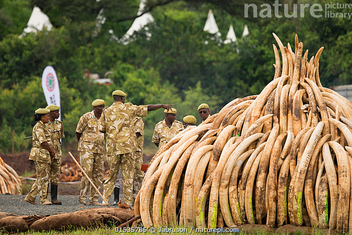 African elephant (Loxodonta africana) ivory in piles, ready to be burnt by the Kenya Wildlife Service (KWS). The burn included 105 tons of elephant ivory worth over  $150 million Nairobi National Park, Kenya, 30th April 2016., Animal,Wildlife,Vertebrate,Mammal,Elephant,African elephants,African elephant,Animalia,Animal,Wildlife,Vertebrate,Mammalia,Mammal,Proboscidea,Elephantidae,Elephant,Loxodonta,African elephants,Loxodonta africana,African elephant,People,African Descent,Man,Illegal,Africa,East Africa,Kenya,Nairobi,Tusk,Tusks,Ivory ,Conservation,Poaching,Wildlife trade,Ivory,Conservation issues,Bruce Davidson,Wildlife crime,Animal trade,Conservation organisation,Nairobi National Park,Kenya Wildlife Service,KWS,Animals,Vertebrates,Chordates,Mammals,Elephants,Men,Crimes,Teeth,Animal,Wildlife,Vertebrate,Mammal,Elephant,African elephants,African elephant,high16, Jabruson