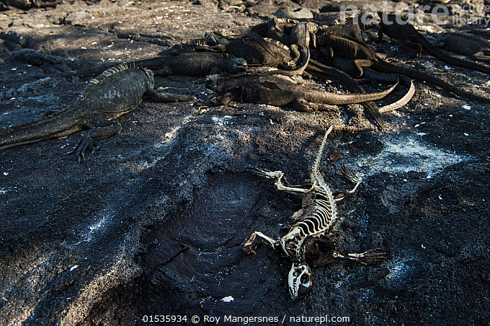Marine iguanas (Amblyrhynchus cristatus) basking on rock next to skeleton of one which starved to death. Unusually warm El Nino waters have killed a lot of the algae which is the food for these iguanas. Fernandina island, Galapagos, April 2016.  ,  Animal,Wildlife,Vertebrate,Reptile,Squamate,Iguana,Marine Iguana,Animalia,Animal,Wildlife,Vertebrate,Reptilia,Reptile,Squamata,Squamate,Iguanidae,Iguana,Lizard,Amblyrhychus,Amblyrhynchus cristatus,Marine Iguana,Fernandina Marine Iguana,Galapagos Marine Iguana,Sea Iguana,Oreocephalus cristatus,Dead,Dead Animal,Carcass,Group,Latin America,South America,Galapagos Islands,Galapagos,The Galapagos,The Galapagos Islands,Weather,Environment,Environmental Issues,Global Warming,Greenhouse Effect,Coast,Coastal,Animal Behaviour,Thermoregulation,Basking,Death,Biodiversity hotspot,Climate change,Starvation,El Nino,Animals,Vertebrates,Chordates,Reptiles,Squamates,Iguanas,Lizards,Groups,Animal Bones,Skeletons,Coasts,Hotspots,Animal,Wildlife,Vertebrate,Reptile,Squamate,Iguana,Marine Iguana,high16  ,  Roy Mangersnes