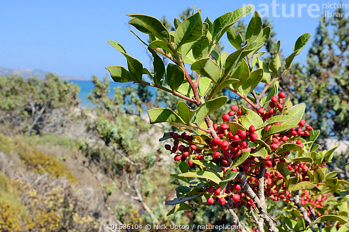 Mastic tree / Lentisc (Pistacia lentiscus), the source of gum mastic resin, with fruits ripening on a branch in coastal maquis scrubland, Kos, Greece, August 2013.  ,  Plant,Vascular plant,Flowering plant,Rosid,Mastic tree,Plantae,Plant,Tracheophyta,Vascular plant,Magnoliopsida,Flowering plant,Angiosperm,Seed plant,Spermatophyte,Spermatophytina,Angiospermae,Sapindales,Rosid,Dicot,Dicotyledon,Rosanae,Anacardiaceae,Pistacia,Pistacia lentiscus,Mastic tree,Lentiscus vulgaris,Terebinthus lentiscus,Europe,Southern Europe,Greece,Berry,Tree,Habitat,Fruit,  ,  Nick Upton
