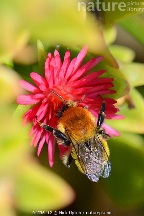 Moss carder bumblebee (Bombus muscorum) visiting Red apple Ice plant / Baby sunrose (Aptenia cordifolia) an invasive South African species flowering on a coastal headland, Vale de Figueira,  Portugal, August 2013.  ,  Plant,Vascular plant,Flowering plant,Dicot,Ice plant,Animal,Arthropod,Insect,Bee,Bumblebee,Northern moss carder bee,Heartleaf iceplant,Plantae,Plant,Tracheophyta,Vascular plant,Magnoliopsida,Flowering plant,Angiosperm,Seed plant,Spermatophyte,Spermatophytina,Angiospermae,Caryophyllales,Dicot,Dicotyledon,Caryophyllanae,Centrospermae,Aizoaceae,Ice plant,Fig marigold,Iceplant,Figmarigold,Ficoidaceae,Animalia,Animal,Wildlife,Hexapoda,Arthropod,Invertebrate,Hexapod,Arthropoda,Insecta,Insect,Hymenoptera,Hymenopterans,Apidae,Bee,Apid bee,Apoidea,Apocrita,Bombus,Bumblebee,Bumble bee,Bombus muscorum,Northern moss carder bee,Moss carder bee,Large carder bee,Apis muscorum,Bombus celticus,Bombus pallidus,Colour,Pink,Flower,Flowers,Aptenia,Aptenia cordifolia,Heartleaf iceplant,  ,  Nick Upton