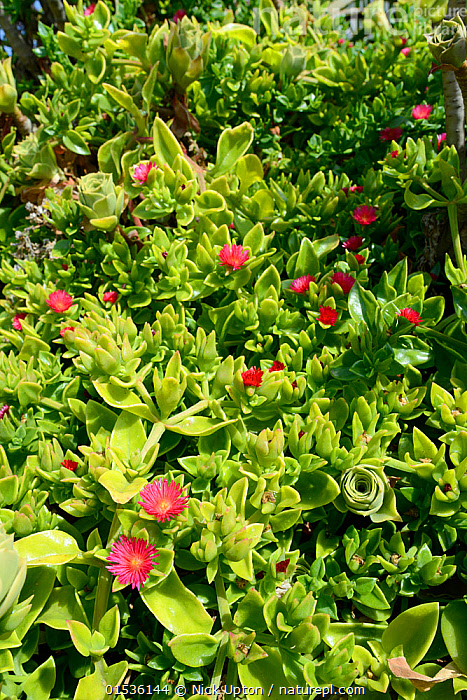 Red apple Ice plant / Baby sunrose (Aptenia cordifolia) an invasive South African species flowering in a dense carpet on a coastal headland, Vale de Figueira,  Portugal, August 2013.  ,  Plant,Vascular plant,Flowering plant,Dicot,Ice plant,Heartleaf iceplant,Plantae,Plant,Tracheophyta,Vascular plant,Magnoliopsida,Flowering plant,Angiosperm,Seed plant,Spermatophyte,Spermatophytina,Angiospermae,Caryophyllales,Dicot,Dicotyledon,Caryophyllanae,Centrospermae,Aizoaceae,Ice plant,Fig marigold,Iceplant,Figmarigold,Ficoidaceae,Colour,Pink,Europe,Southern Europe,Portugal,Flower,Flowers,Aptenia,Aptenia cordifolia,Heartleaf iceplant,  ,  Nick Upton