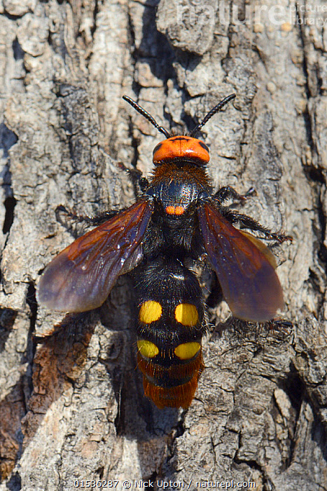 Mammoth wasp / Giant solitary wasp (Megascolia maculata maculata) female sunning on a tree trunk, Lesbos/ Lesvos, Greece, May.  ,  Animal,Arthropod,Insect,Scoliid wasp,Solitary wasp,Mammoth wasp,Animalia,Animal,Wildlife,Hexapoda,Arthropod,Invertebrate,Hexapod,Arthropoda,Insecta,Insect,Hymenoptera,Hymenopterans,Scoliidae,Scoliid wasp,Wasp,Vespoid wasp,Apocrita,Megascolia,Solitary wasp,Megascolia maculata,Mammoth wasp,Europe,Southern Europe,Greece,High Angle View,Wing,Wings,Elevated view,Megascolia maculata maculata,  ,  Nick Upton