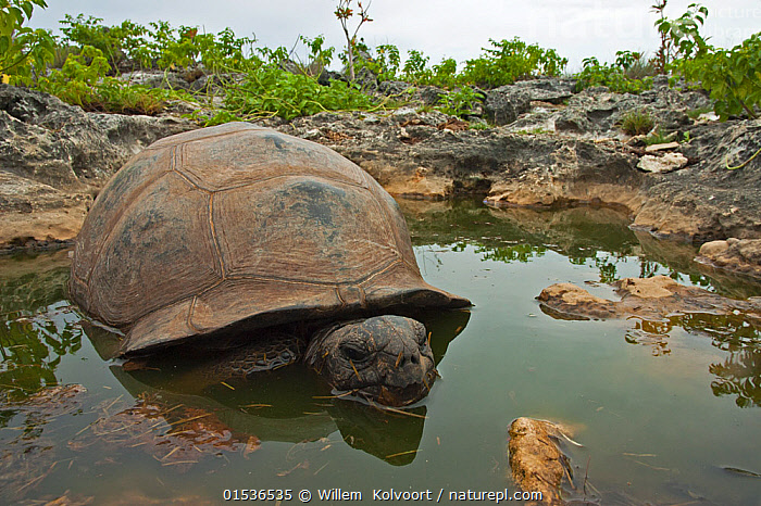 Aldabra Giant Tortoise (Aldabrachelys gigantea) resting in a pool to keep cool, Grand Terre, Natural World Heritage Site, Aldabra  ,  Animal,Vertebrate,Reptile,Testitudine,Tortoises,Aldabra giant tortoise,Animalia,Animal,Wildlife,Vertebrate,Reptilia,Reptile,Chelonii,Testitudine,Testudinidae,Tortoises,Turtle,Diposchelys,Dipsochelys dussumieri,Aldabra giant tortoise,Geochelone gigantea,Resting,Rest,Seychelles,Republic of Seychelles,Horizontal,Tropical,Island,Islands,Freshwater,Pond,Water,Habitat,Animal Behaviour,Thermoregulation,Behaviour,Tropics,Endemic,Indian Ocean Islands,Pool,Pools,Aldabrachelys gigantea,Testudo gigantea,Testudo dussumieri,Testudo elephantina,Testudo ponderosa,Testudo sumeirei,Testudo gouffei,Testudo indica,Testudo hololissa,Cylindraspis indica,Dipsochelys elephantina,Aldabra tortoise,Aldabra,Native Species,  ,  Willem  Kolvoort