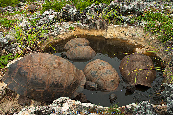 Aldabra Giant Tortoises (Aldabrachelys gigantea) resting in a pool to keep cool, Grand Terre, Natural World Heritage Site, Aldabra  ,  Animal,Vertebrate,Reptile,Testitudine,Tortoises,Aldabra giant tortoise,Animalia,Animal,Wildlife,Vertebrate,Reptilia,Reptile,Chelonii,Testitudine,Testudinidae,Tortoises,Turtle,Diposchelys,Dipsochelys dussumieri,Aldabra giant tortoise,Geochelone gigantea,Resting,Rest,Group,Seychelles,Republic of Seychelles,Horizontal,Tropical,Island,Islands,Freshwater,Pond,Water,Animal Behaviour,Thermoregulation,Behaviour,Tropics,Endemic,Indian Ocean Islands,Pool,Pools,Aldabrachelys gigantea,Testudo gigantea,Testudo dussumieri,Testudo elephantina,Testudo ponderosa,Testudo sumeirei,Testudo gouffei,Testudo indica,Testudo hololissa,Cylindraspis indica,Dipsochelys elephantina,Aldabra tortoise,Aldabra,Native Species,  ,  Willem  Kolvoort