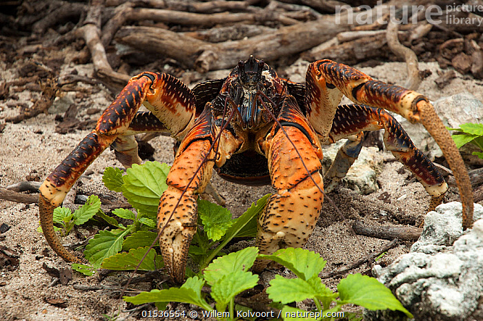 Coconut crab (Birgus latro) Grand Terre, Natural World Heritage Site, Aldabra, Animal,Crustacean,Decapod,Land hermit crab,Coconut crab,Animalia,Animal,Wildlife,Crustracea,Crustacean,Malacostraca,Decapoda,Decapod,Coenobitidae,Land hermit crab,Terrestrial hermit crab,Birgus,Birgus latro,Coconut crab,Cancer latro,Cancer crumentatus,Birgus laticauda,Seychelles,Republic of Seychelles,Horizontal,Portrait,Tropical,Island,Islands,Arthropod,Arthropods,Tropics,Indian Ocean Islands,Invertebrate,Aldabra,, Willem  Kolvoort