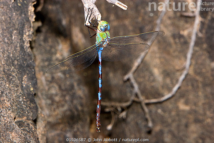 Giant darner dragonfly (Anax walsinghami) male resting on rock, Big Bend State Natural  Area, Texas, USA, September  ,  Animal,Arthropod,Insect,Pterygota,Hawker dragonfly,American,Giant Darner,Animalia,Animal,Wildlife,Hexapoda,Arthropod,Invertebrate,Hexapod,Arthropoda,Insecta,Insect,Odonata,Pterygota,Aeshnidae,Hawker dragonfly,Hawker,Darner dragonfly,Darner,Dragonfly,Anisoptera,Epiprocta,Anax,North America,USA,Southern USA,Texas,Male Animal,American,United States of America,Anax walsinghami,Giant Darner,  ,  John Abbott