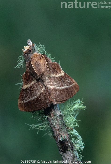Nature Picture Library Eastern tent caterpillar (Malacosoma