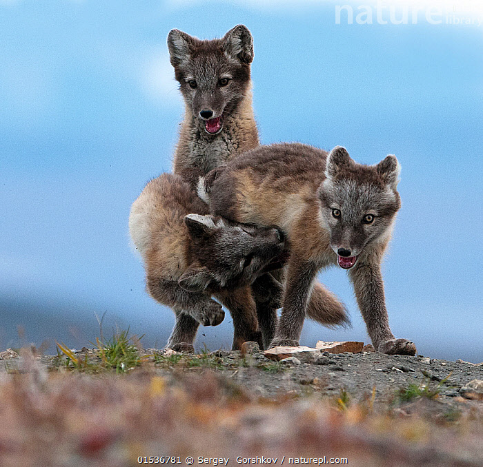 Arctic fox (Alopex lagopus) juveniles play fighting, Wrangel Island, Far East Russia, August.  ,  Animal,Wildlife,Vertebrate,Mammal,Carnivore,Canid,True fox,Arctic fox,Animalia,Animal,Wildlife,Vertebrate,Mammalia,Mammal,Carnivora,Carnivore,Canidae,Canid,Vulpes,True fox,Vulpini,Caninae,Vulpes lagopus,Arctic fox,Polar fox,Blue fox,Ice fox,White fox,Alopex lagopus,Canis lagopus,Play Fight,Play Fights,Mischief,Few,Three,Group,Russia,Young Animal,Baby,Baby Mammal,Cub,Island,Islands,Animal Behaviour,Playing,Reserve,Protected area,Russian Far East,Bookplate,Zapovednik,Chukotka,Wrangel Island,Animals,Vertebrates,Chordates,Mammals,Carnivores,Canids,True foxes,Groups,Juveniles,Young Animals,Baby Animals,Cubs,Plays,Reserves,Babies,Animal,Wildlife,Vertebrate,Mammal,Carnivore,Canid,True fox,Arctic fox,high16  ,  Sergey  Gorshkov