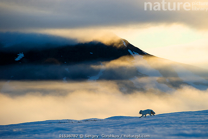 5d247709e81 Arctic fox (Alopex lagopus) running in snowy landscape with mountains  behind