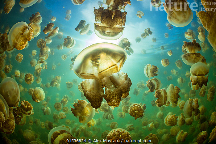 Aggregation of Golden jellyfish (Mastigias sp.) in a marine lake in Palau, the golden colour of this species comes from symbiotic algae in its tissues. Jellyfish Lake, Eil Malk island, Rock Islands, Palau. Tropical north Pacific Ocean., Animal,Wildlife,Cnidarian,True jellyfish,Jellyfish,Animalia,Animal,Wildlife,Cnidaria,Cnidarian,Coelentrerata,Scyphozoa,True jellyfish,Rhizostomeae,Jellyfish,Mastigiidae,Mastigias,Symbiotic Relationship,Group,Large Group,Oceania,Palau,Tropical,Sunlight,Ocean,Pacific Ocean,Marine,Underwater,Water,Animal Behaviour,Indo Pacific,Saltwater,Multitude,Bookplate,Natural Light,Secrets of the Sea,Animals,Cnidarians,True jellyfishes,Jellyfish,Jellyfishes,Groups,Oceans,Multitudes,Masses,Animal,Wildlife,Cnidarian,True jellyfish,Jellyfish,high16, Alex Mustard
