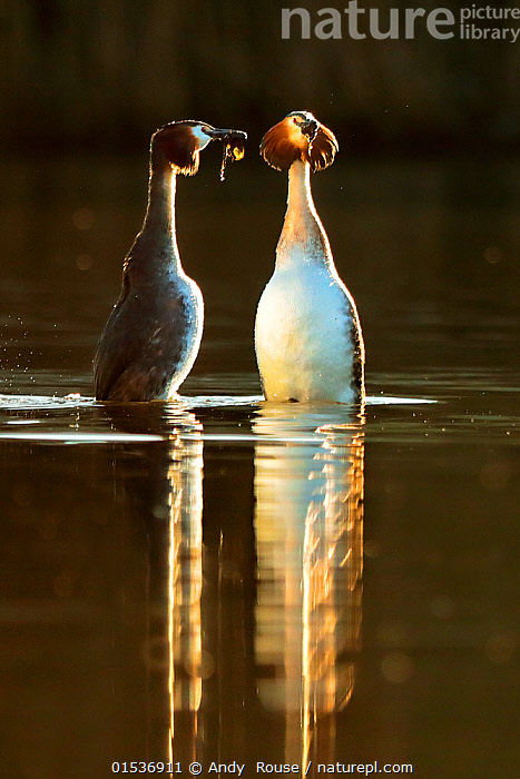 Great crested grebes (Podiceps cristatus) pair in courtship 'weed dance' in morning light, Wales, UK, February.  ,  Animal,Wildlife,Vertebrate,Bird,Birds,Grebe,Great crested grebe,Wildfowl,Water fowl,Animalia,Animal,Wildlife,Vertebrate,Aves,Bird,Birds,Podicipediformes,Podicipedidae,Grebe,Podiceps,Podiceps cristatus,Great crested grebe,Courting,Morning,Mornings,Two,Europe,Western Europe,UK,Great Britain,Wales,Vertical,Freshwater,Water,Animal Behaviour,Mating Behaviour,Courtship,Display,Male female pair,Waterfowl,Wildfowl,Water fowl,Weed Dance,Animals,Vertebrates,Chordates,Grebes,Pairs,Animal,Wildlife,Vertebrate,Bird,Birds,Grebe,Great crested grebe,Wildfowl,Water fowl, catalogue9  ,  Andy  Rouse
