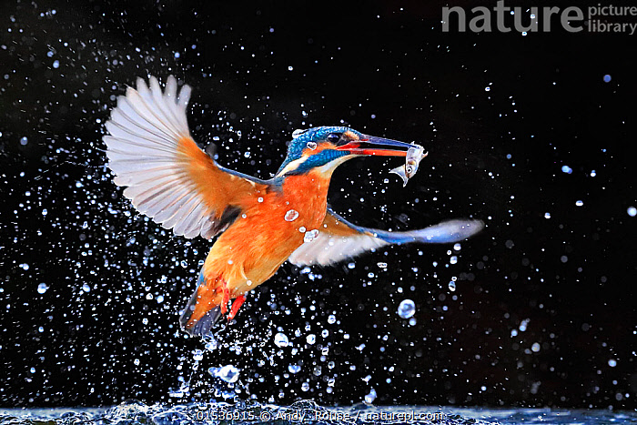 Kingfisher (Alcedo atthis) emerging from pool with fish, UK, December. EDITORIAL USE ONLY.  ,  Animal,Vertebrate,Bird,Birds,River kingfisher,Common kingfisher,Animalia,Animal,Wildlife,Vertebrate,Aves,Bird,Birds,Coraciiformes,Alcedinidae,River kingfisher,Kingfisher,Alcedo,Alcedo atthis,Common kingfisher,European kingfisher,Eurasian kingfisher,Flying,Splashing,Europe,Western Europe,UK,Female animal,Freshwater,Water,Animal Behaviour,Predation,Hunting,Behaviour,Flight,,  ,  Andy  Rouse