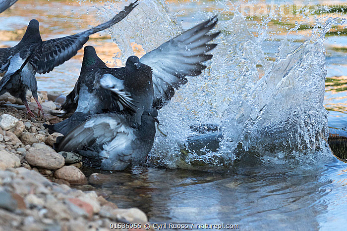 Wels catfish (Silurus glanis) hunting Feral pigeon (Columba livia) by lunging on the riverbank, Tarn River, France August, espèce invasive,exotique,introduit,introduite,,Animal,Wildlife,Vertebrate,Ray-finned fish,Catfish,Sheatfish,Wels,Bird,Birds,Dove,Typical pigeon,Rock pigeon,Animalia,Animal,Wildlife,Vertebrate,Actinopterygii,Ray-finned fish,Osteichthyes,Bony fish,Fish,Siluriformes,Catfish,Siluridae,Sheatfish,Silurus,Silurus glanis,Wels,Danube catfish,Wels catfish,Som catfish,European catfish,Silurus silurus,Siluris glanis,Silurus glanis aralensis,Aves,Bird,Birds,Columbiformes,Dove,Pigeon,Columbidae,Columba,Typical pigeon,Columba livia,Rock pigeon,Rock dove,Feral pigeon,Feral dove,Attacking,Europe,Western Europe,France,Horizontal,Flowing Water,River,Freshwater,Water,Animal Behaviour,Predation,Hunting,Mixed species,Behaviour,Behavioural,,, catalogue11, Cyril Ruoso
