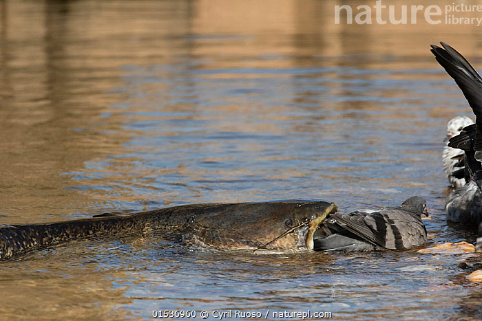 Wels catfish (Silurus glanis) catching Feral pigeon (Columba livia) by lunging on the riverbank, Tarn River, France August, espèce invasive,exotique,introduit,introduite,,Animal,Wildlife,Vertebrate,Ray-finned fish,Catfish,Sheatfish,Wels,Bird,Birds,Dove,Typical pigeon,Rock pigeon,Animalia,Animal,Wildlife,Vertebrate,Actinopterygii,Ray-finned fish,Osteichthyes,Bony fish,Fish,Siluriformes,Catfish,Siluridae,Sheatfish,Silurus,Silurus glanis,Wels,Danube catfish,Wels catfish,Som catfish,European catfish,Silurus silurus,Siluris glanis,Silurus glanis aralensis,Aves,Bird,Birds,Columbiformes,Dove,Pigeon,Columbidae,Columba,Typical pigeon,Columba livia,Rock pigeon,Rock dove,Feral pigeon,Feral dove,Attacking,Europe,Western Europe,France,Horizontal,Flowing Water,River,Freshwater,Water,Animal Behaviour,Predation,Hunting,Mixed species,Behaviour,Interesting,Behavioural,,, catalogue11, Cyril Ruoso