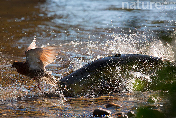 Wels catfish (Silurus glanis) hunting Feral pigeon (Columba livia) by lunging on the riverbank, Tarn River, France August, espèce invasive,exotique,introduit,introduite,,Animal,Wildlife,Vertebrate,Ray-finned fish,Catfish,Sheatfish,Wels,Bird,Birds,Dove,Typical pigeon,Rock pigeon,Animalia,Animal,Wildlife,Vertebrate,Actinopterygii,Ray-finned fish,Osteichthyes,Bony fish,Fish,Siluriformes,Catfish,Siluridae,Sheatfish,Silurus,Silurus glanis,Wels,Danube catfish,Wels catfish,Som catfish,European catfish,Silurus silurus,Siluris glanis,Silurus glanis aralensis,Aves,Bird,Birds,Columbiformes,Dove,Pigeon,Columbidae,Columba,Typical pigeon,Columba livia,Rock pigeon,Rock dove,Feral pigeon,Feral dove,Attacking,Europe,Western Europe,France,Horizontal,Flowing Water,River,Freshwater,Water,Animal Behaviour,Predation,Hunting,Mixed species,Behaviour,Interesting,Behavioural,,, catalogue11, Cyril Ruoso