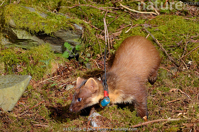 Radio-collared female Pine Marten (Martes martes) reintroduced to Wales by the Vincent Wildlife Trust foraging at night in woodland, Cambrian Mountains, Wales, UK, May 2016. Photographed using a remote camera trap., Animal,Vertebrate,Mammal,Carnivore,Mustelid,Marten,European Pine Martin,Animalia,Animal,Wildlife,Vertebrate,Mammalia,Mammal,Carnivora,Carnivore,Mustelidae,Mustelid,Martes,Marten,Martes martes,European Pine Martin,Pine Marten,Foraging,Europe,Western Europe,UK,Great Britain,Wales,Equipment,Night,Conservation,Wildlife conservation,Conservation equipment,Radio trackers,Radio collars,Reintroduction,Reintroduced,, Nick Upton
